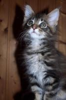 Foto 2 Typvolle Maine Coon Kitten