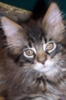 Foto 3 Typvolle Maine Coon Kitten