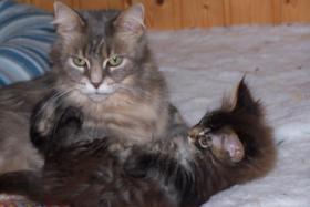 Foto 4 Typvolle Maine Coon Kitten