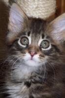 Foto 5 Typvolle Maine Coon Kitten
