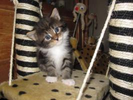 Typvolle Maine-Coon Kitten