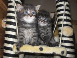 Foto 2 Typvolle Maine-Coon Kitten