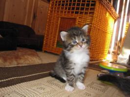 Foto 3 Typvolle Maine-Coon Kitten