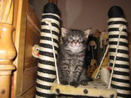 Foto 4 Typvolle Maine-Coon Kitten
