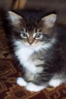 Foto 4 Typvolle Maine-Coon Kitten aus Champion Verpaarung