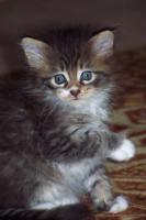 Foto 5 Typvolle Maine-Coon Kitten aus Champion Verpaarung