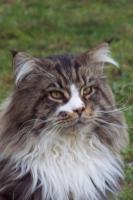 Typvolle Maine-Coon Kitten aus Champion Verpaarung