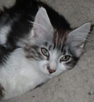 Foto 2 Typvolle Maine Coon Kitten mit Papieren