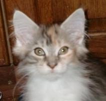 Foto 4 Typvolle Maine Coon Kitten mit Papieren