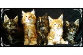 Typvolle Maine Coon Kitten mit Stammbaum