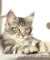 Typvolle Maine Coon Kitten mit Stammbaum sofort abgabebereit!