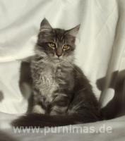 Foto 3 Typvolle Maine Coon Kitten mit Stammbaum sofort abgabebereit!