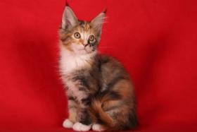 Foto 2 Typvolle Maine Coon Kitten mit tollen Luchspinseln