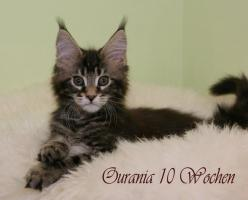 Typvolle Reinrassige Maine Coon Kitten
