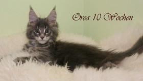Foto 2 Typvolle Reinrassige Maine Coon Kitten