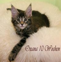 Foto 3 Typvolle Reinrassige Maine Coon Kitten