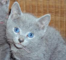 Typvolle Russisch Blau Kitten