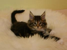 Foto 5 Typvolle Superschmuser/Maine Coon Kitten