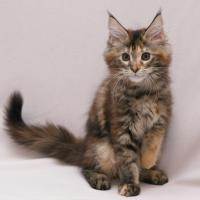 Foto 2 Typvolle Superschmuser/Maine Coon Kitten