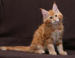 Foto 3 Typvolle Superschmuser/Maine Coon Kitten