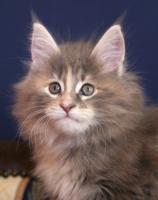 Typvolle Superschmuser/Maine Coon Kitten