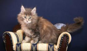 Foto 4 Typvolle Superschmuser/Maine Coon Kitten