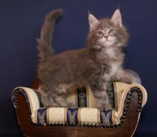 Foto 6 Typvolle Superschmuser/Maine Coon Kitten