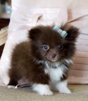 *** ++Typvolle Zwergspitz/Pomeranian Welpen**!!
