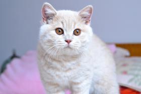 Typvolle reinrassige BKH Kitten mit Stammbaum abzugeben..