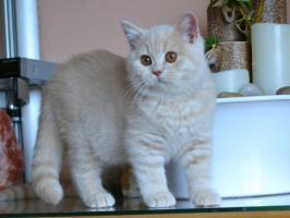 Foto 2 Typvolle reinrassige BKH Kitten mit Stammbaum abzugeben..