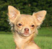 Typvoller und fehlerfreier Chihuahua Jungrüde