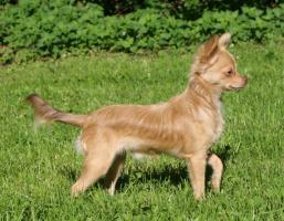Foto 2 Typvoller und fehlerfreier Chihuahua Jungrüde