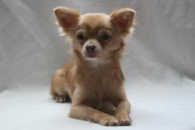Foto 3 Typvoller und fehlerfreier Chihuahua Jungrüde