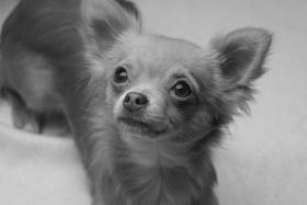 Foto 4 Typvoller und fehlerfreier Chihuahua Jungrüde