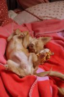 Foto 5 Typvoller und fehlerfreier Chihuahua Jungrüde