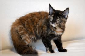 Foto 4 Typvoller und kräftiger Maine Coon Kitten von Niedersachsen mit nehmen.