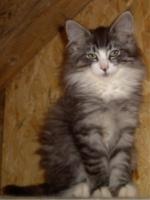 Typvolles Norwegisches Waldkatzenbaby