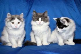 Typvolles Sibirische Katzen schon jetzt zur Abnahme