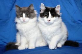 Foto 3 Typvolles Sibirische Katzen schon jetzt zur Abnahme