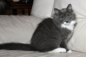 Foto 4 Typvolles Sibirische Katzen schon jetzt zur Abnahme