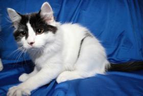 Foto 5 Typvolles Sibirische Katzen schon jetzt zur Abnahme