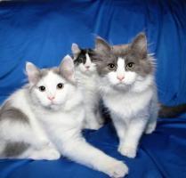 Foto 6 Typvolles Sibirische Katzen schon jetzt zur Abnahme