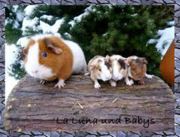 Foto 3 US Teddy Meerschweinchen