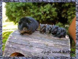 Foto 4 US Teddy Meerschweinchen