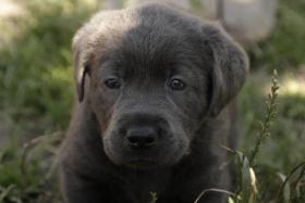Umwerfend liebe silber und charcoal Labrador Welpen!