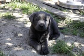 Foto 2 Umwerfend liebe silber und charcoal Labrador Welpen!