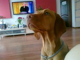 Ungarischer Vorstehhund [ Vizsla]