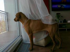 Foto 3 Ungarischer Vorstehhund [ Vizsla]