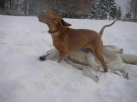 Foto 5 Ungarischer Vorstehhund [ Vizsla]