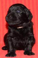 Foto 4 Unglaublich s��e schwarze Labradoodle-Welpen!